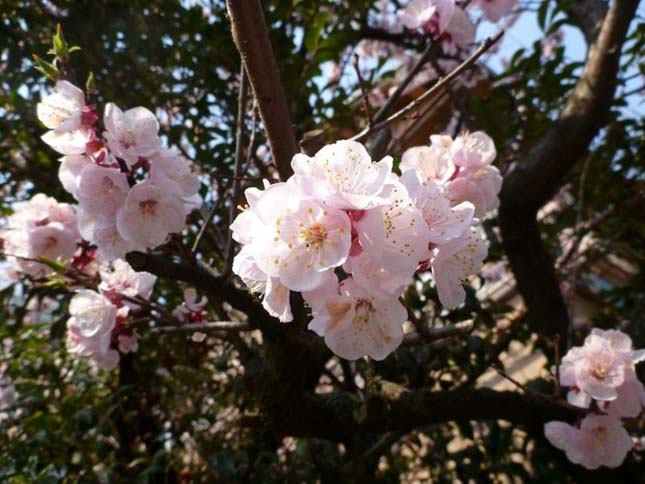 cherry-blossom-17.jpg