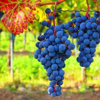 A globális felmelegedés veszélyezteti a szőlőket