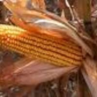 Nem kukoricáznak