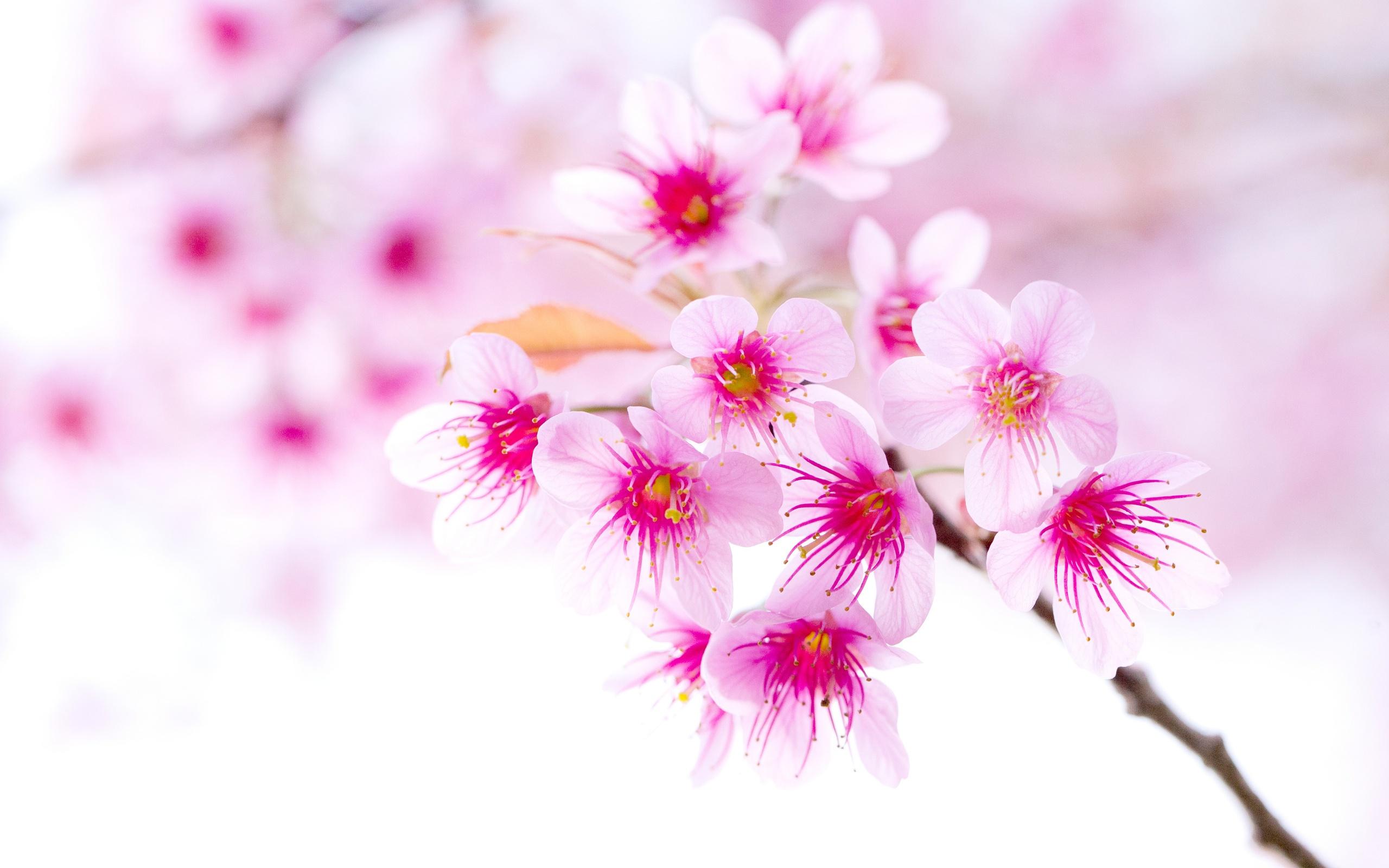 882588-sakura-flower-wallpaper.jpg