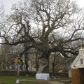 Ştefan cel Mare fája