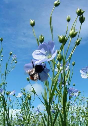 flax_plant.jpg
