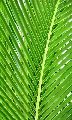 palm_leaf.jpg