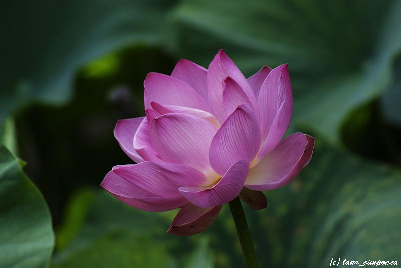 nelumbo_nucifera_lotus_floare_de_lotus_lotus_flower_lotosblume_fiorediloto_flordelotus_flordeloto_lotuszvirag_1.jpg