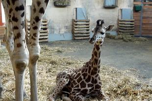 Ugrány, nyakorján és iramszarvas is volt az Állatkert első állatai között
