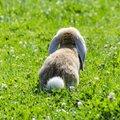 Nyuszifarok: a bájos húsvéti dekorációk elengedhetetlen kelléke