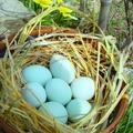 Araucana, a türkiz tojást tojó tyúk - Tyúkfajták, írjatok ti! 1.rész