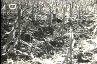 Mozidélután a tyúkudvarban - A kukorica