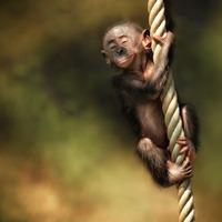 Banáninfó: mitől boldogabbak a majmok?