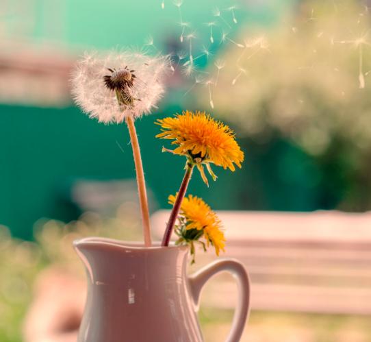Ezerarcú pitypang: a tavaszi fáradtság legjobb ellenszere