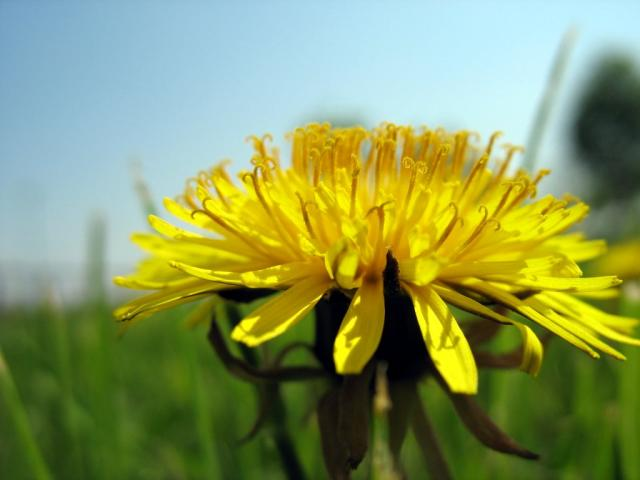 dandelion2.preview.jpg