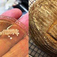 4500 éves egyiptomi élesztőből sütöttek kenyeret