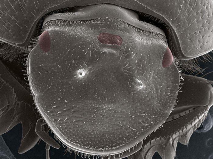 scarab-beetle-thirs-eye-full-inset.jpg