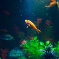 Környezetgazdagítás aranyhalaknak
