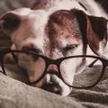 A trükktanítás növeli az öreg kutyák jólétét
