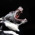Lehetséges, hogy megvan a hormon, ami a kutyák agressziójáért felelős?