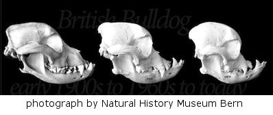 change-in-shape-of-the-bull-dog-skull.jpg
