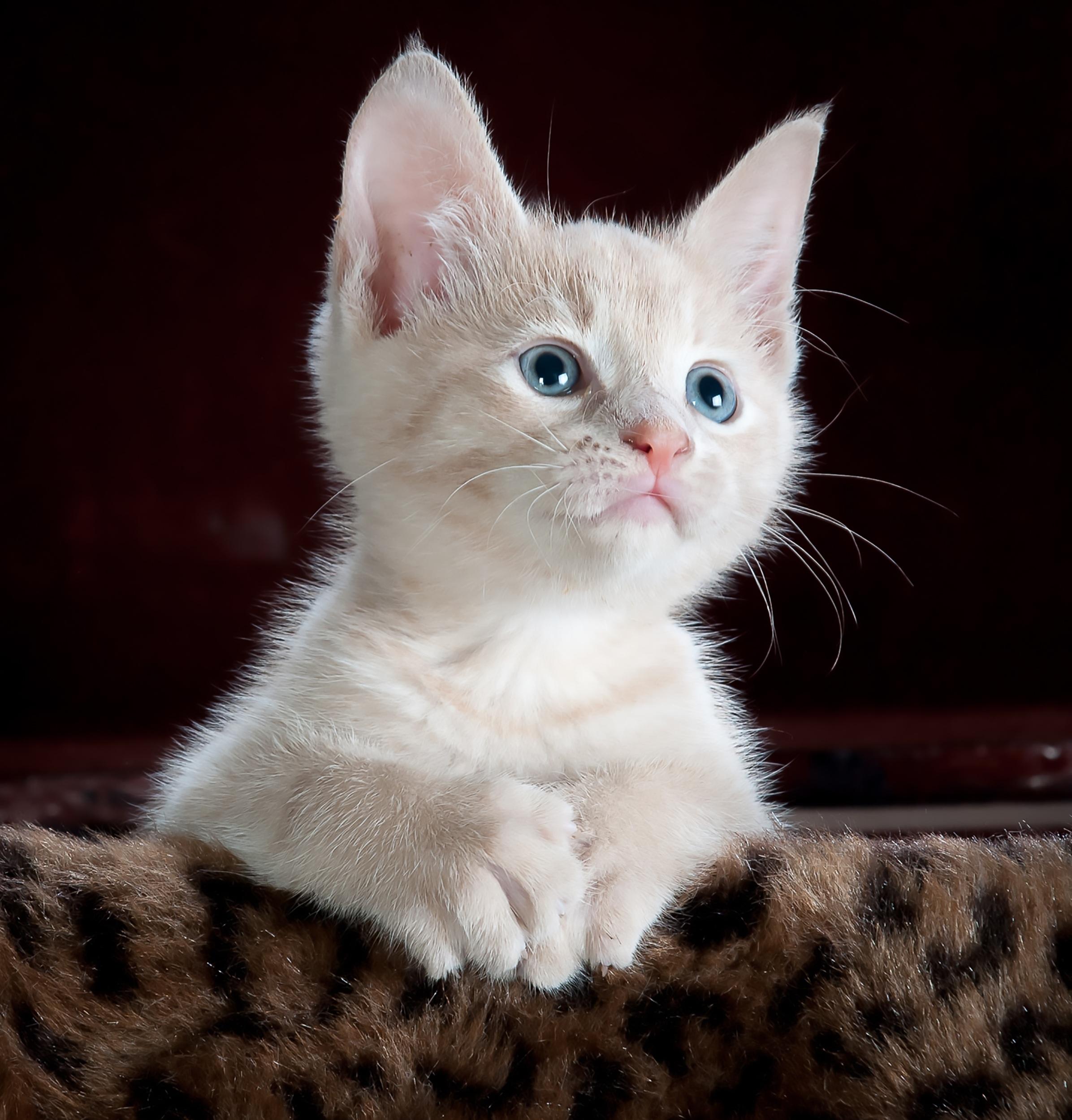 kitty-cat-kitten-pet-45201.jpeg