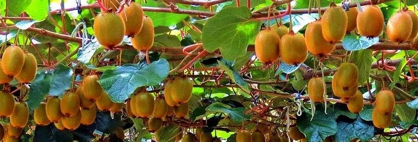 kivi és füge termesztés