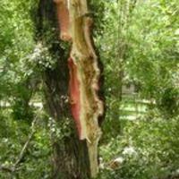 Veszélyesek a budapesti fák?