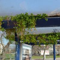 Eddig az a legfantasztikusabb dolog az idei tavaszban: kivirágzott egy buszmegálló Újpesten!