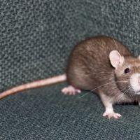 Láttatok már patkányt Budapesten? Osszátok meg a legjobb rágcsálós kalandotokat