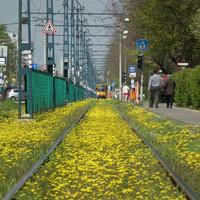 Virágzó villamosvágányok Kispesten