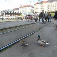 Széll Kálmán téri kacsák
