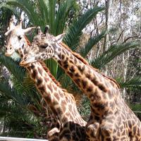 San Diego látnivalók - San Diego Állatkert