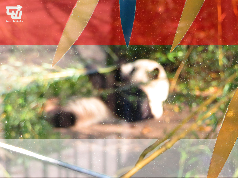 01_oriaspanda_giant_panda_gro_er_panda_tiergarten_schonbrunn_allatkert_becs_wien_vienna_ausztria_austria_osterreich_utazas_europaba.JPG
