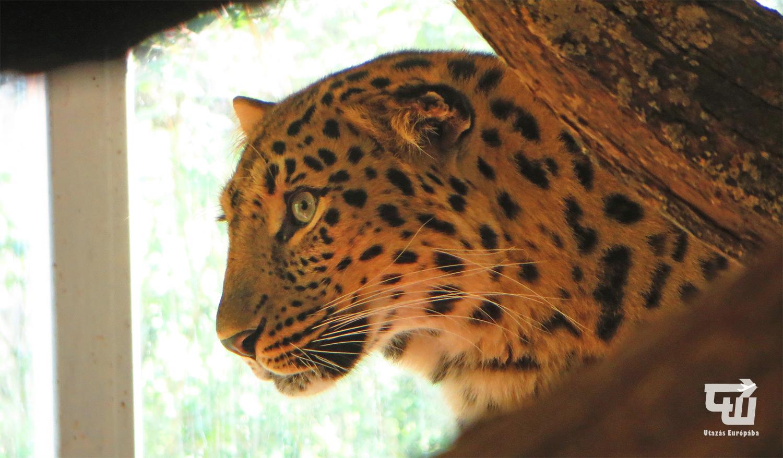 06_leopard_tiergarten_schonbrunn_allatkert_becs_wien_vienna_ausztria_austria_osterreich_utazas_europaba.jpg