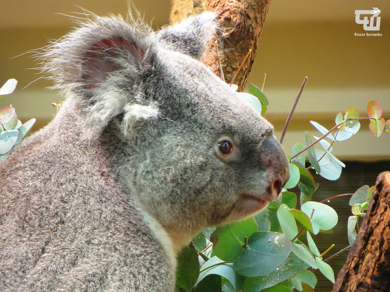 07_koala_tiergarten_schonbrunn_allatkert_becs_wien_vienna_ausztria_austria_osterreich_utazas_europaba.JPG