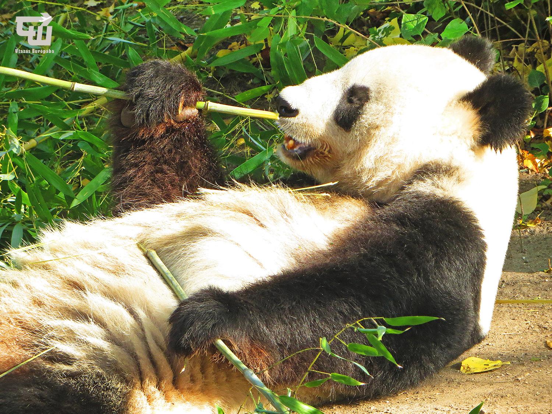 09_oriaspanda_giant_panda_gro_er_panda_tiergarten_schonbrunn_allatkert_becs_wien_vienna_ausztria_austria_osterreich_utazas_europaba.JPG