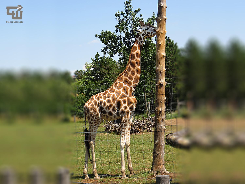 03_rothschild-zsiraf_veszpremi_allatkert_magyarorszag_hungary_ungarn_zoo_allatkert_vadaspark_utazas_europaba.JPG