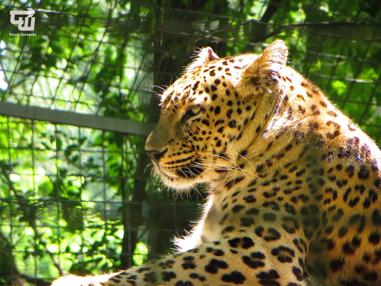 06_perzsa_leopard_jaszberenyi_allat-_es_novenykert_magyarorszag_hungary_ungarn_zoo_allatkert_vadaspark_utazas_europaba.JPG