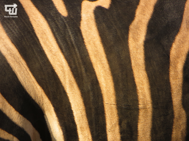 10_grevy-zebra_nyiregyhazi_allatpark_magyarorszag_hungary_ungarn_zoo_allatkert_vadaspark_utazas_europaba.jpg