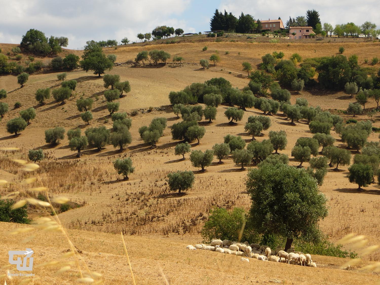10_montiano_oliva_olive_toszkana_tuscany_toscana_olaszorszag_italy_italia_utazas_europaba.JPG