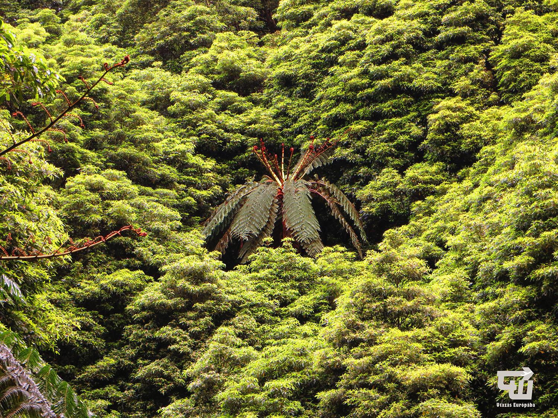 05_caldeira_velha_oserdo_tree_fern_azori-szigetek_s_o_miguel_azores_portugalia_portugal.jpg
