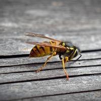 A méhcsípés és darázscsípés azonnal elmúlik, ha ezt a 2 egyszerű lépést követed!