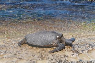 Hawaii szigetek: tengerparti sütkérezés óriásteknősök társaságában
