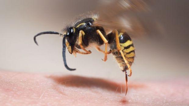 utikalauzanatomiaba-rovarcsipes-allergia.jpg