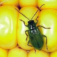 Az állatvilág bajnokai: a kukoricabogár - Lenyomta a Monsantót?