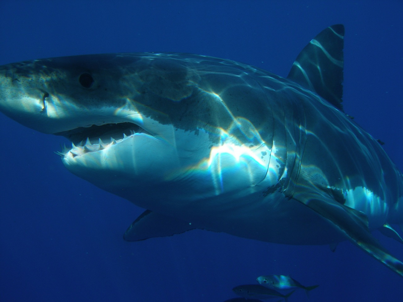 great-white-shark-398276_1280.png
