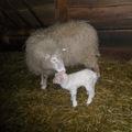 Az elmúlt két hét alatt négy kis bárány látta meg a napvilágot a Budakeszi Vadasparkban és nagyjából egy hónap múlva várható a kis kecskék születése.