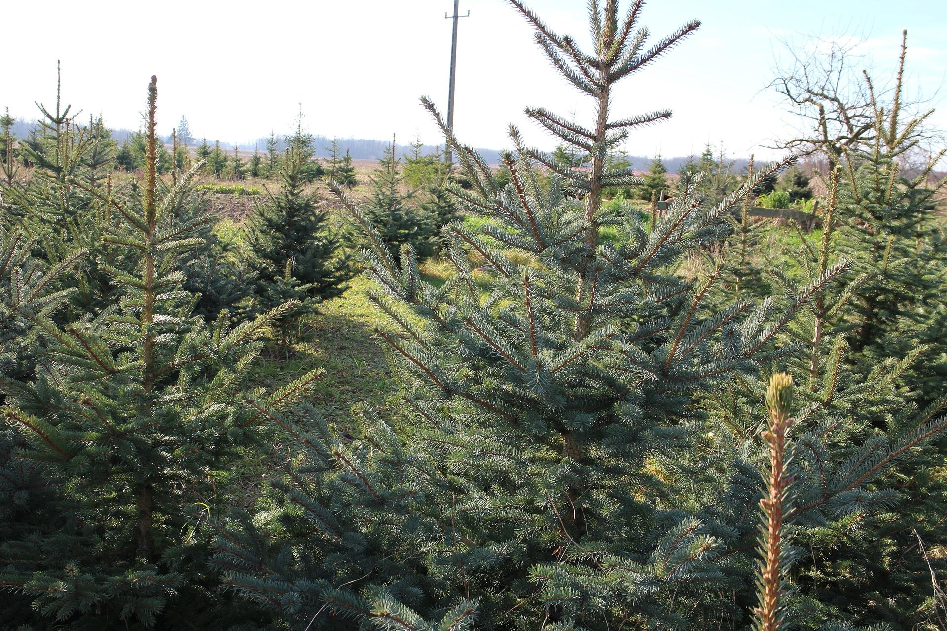 christmas-tree-1001600_1920.jpg