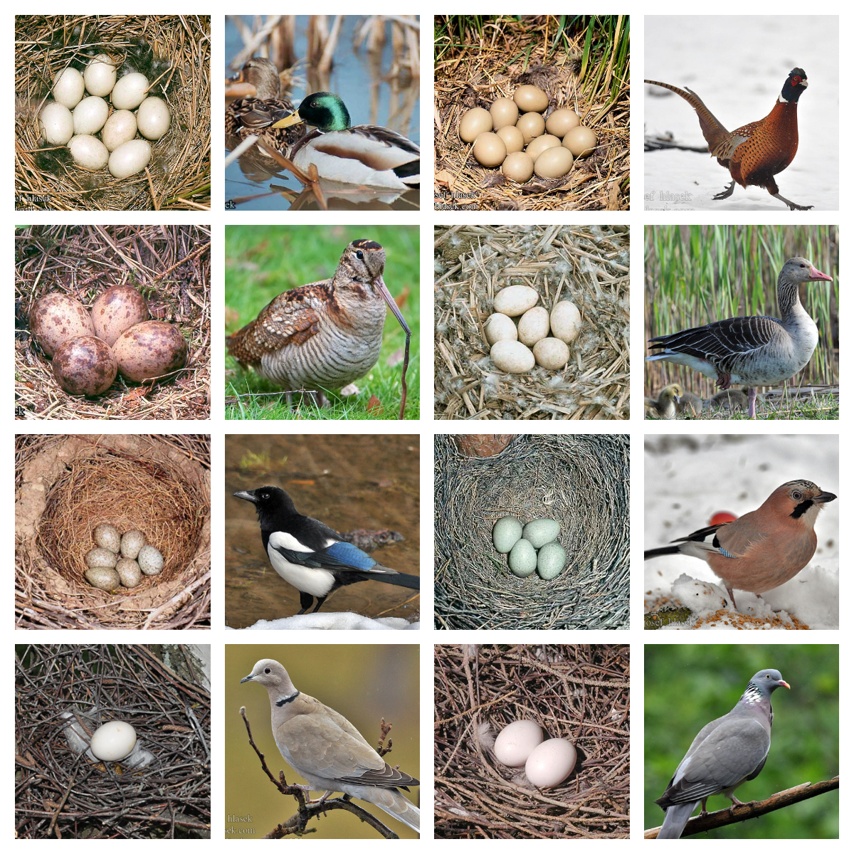 eggs_birds_1_ok.jpg