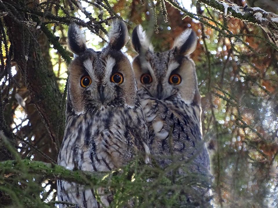 owls-3063893_960_720.jpg
