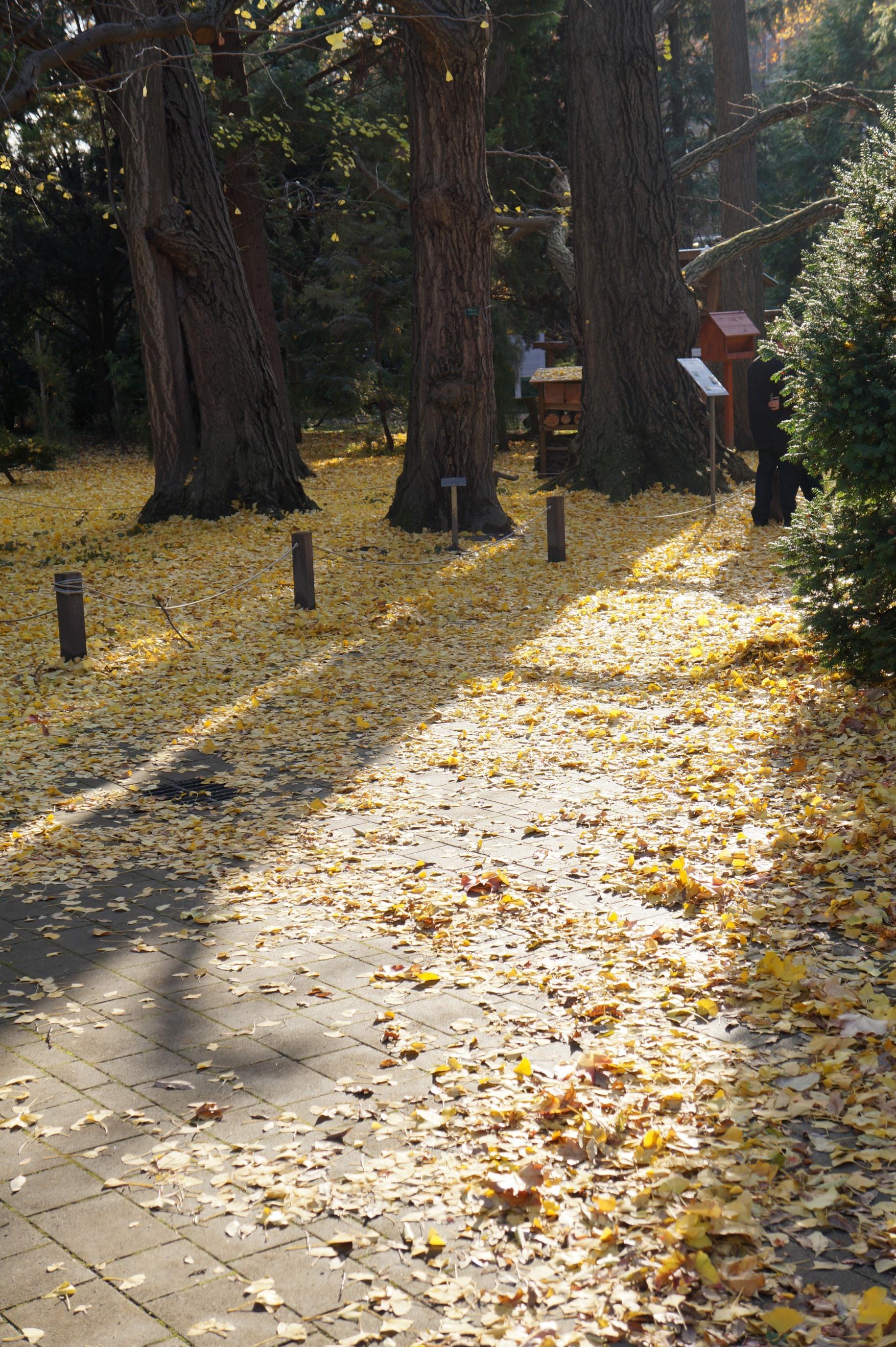 Gingko Biloba lehullott levelei - a vajsav lebomlása során kellemetlen szag keletkezik