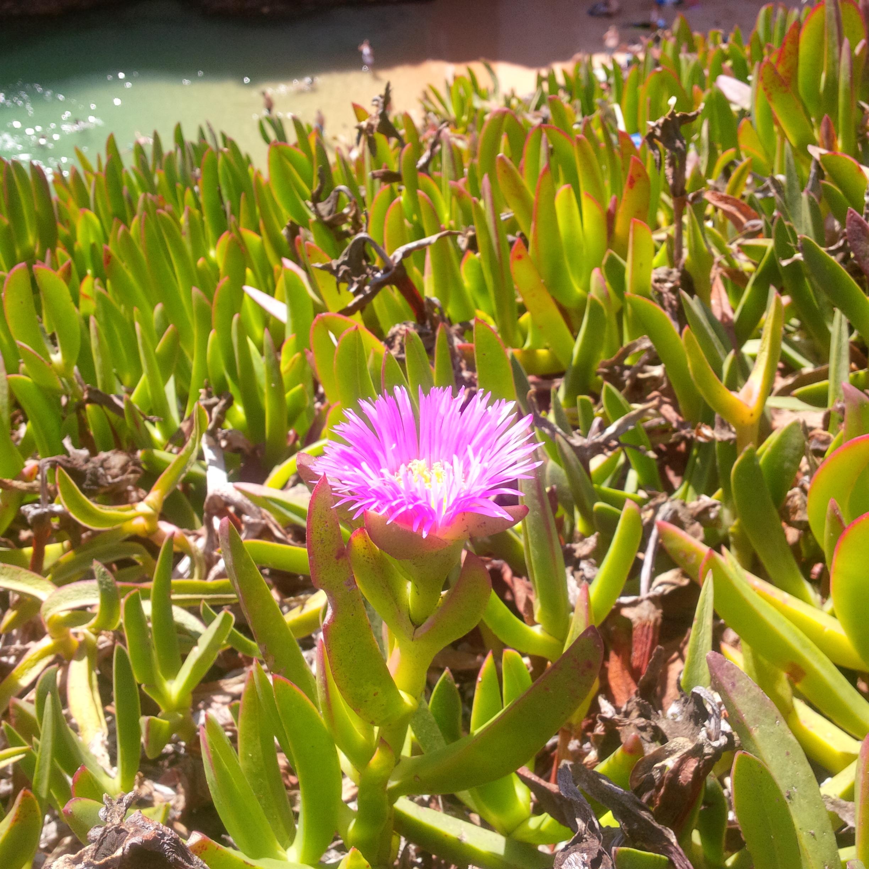 A mediterránon mindenhol megtalálható vastag húsú virág, ami szőnyeget, függönyt alkot aszerint, hogy elterül-e, vagy alácsüng a magasból