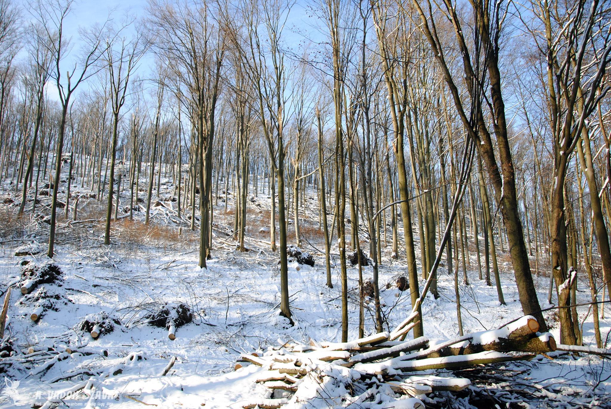 Nem sokkal odébb kidőlt fák tönkjeit látni. Magukat a fákat itt részben már összegyűjtötte az erdészet.